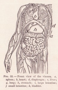 Imagen antigua de las vísceras abdominales